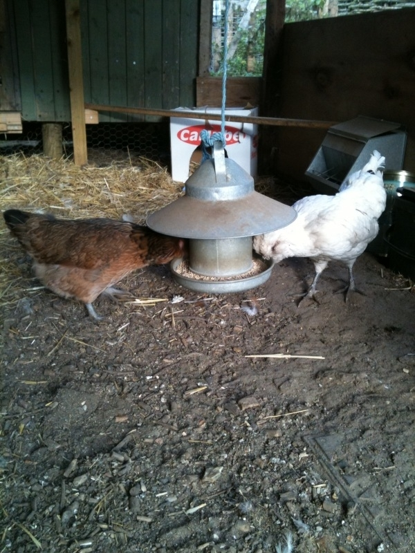 Mabel (left) and Audrey feeding at their hopper, also beloved of mice