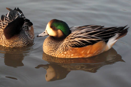 Chiloe Wigeons, which originate from South America