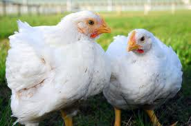 Cobb chickens (full-size)