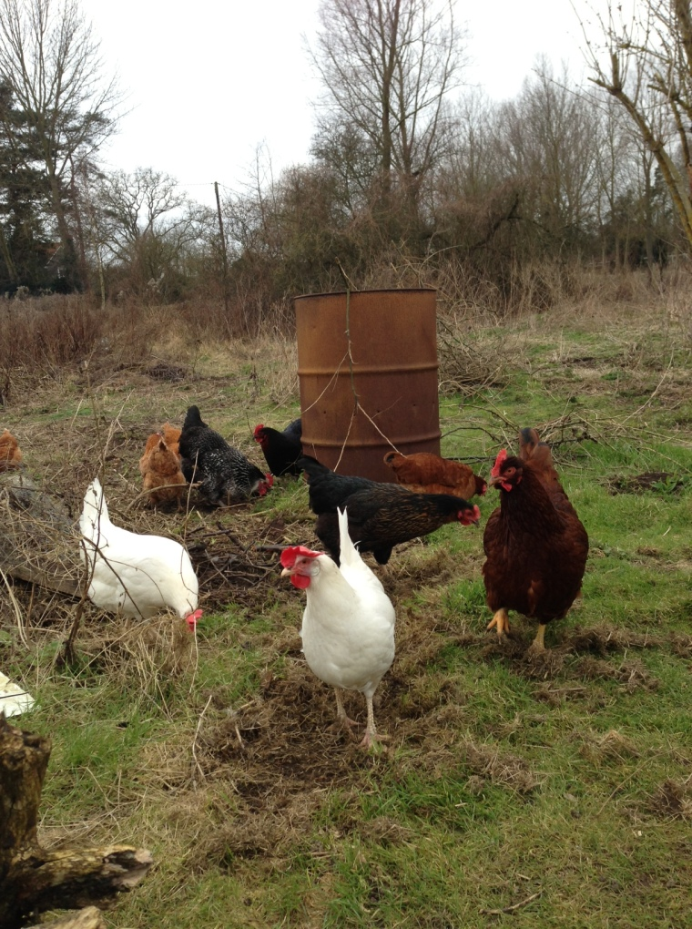 The hybrid flock busy themselves all day by scratching around