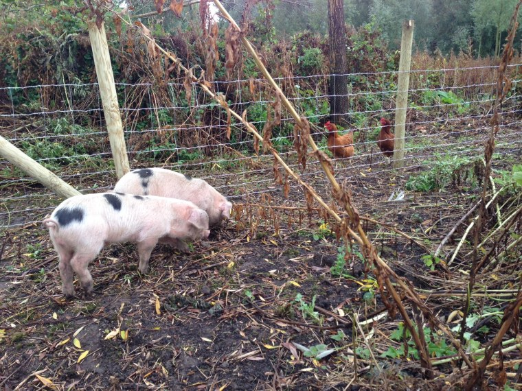 Rootling around comes naturally to pigs