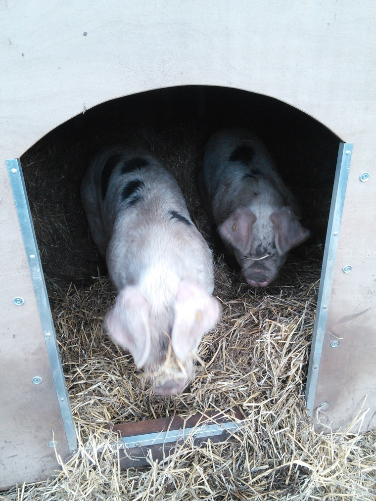 I love the way the pigs always come out of their ark with straw dangling from their nose, ears or tail