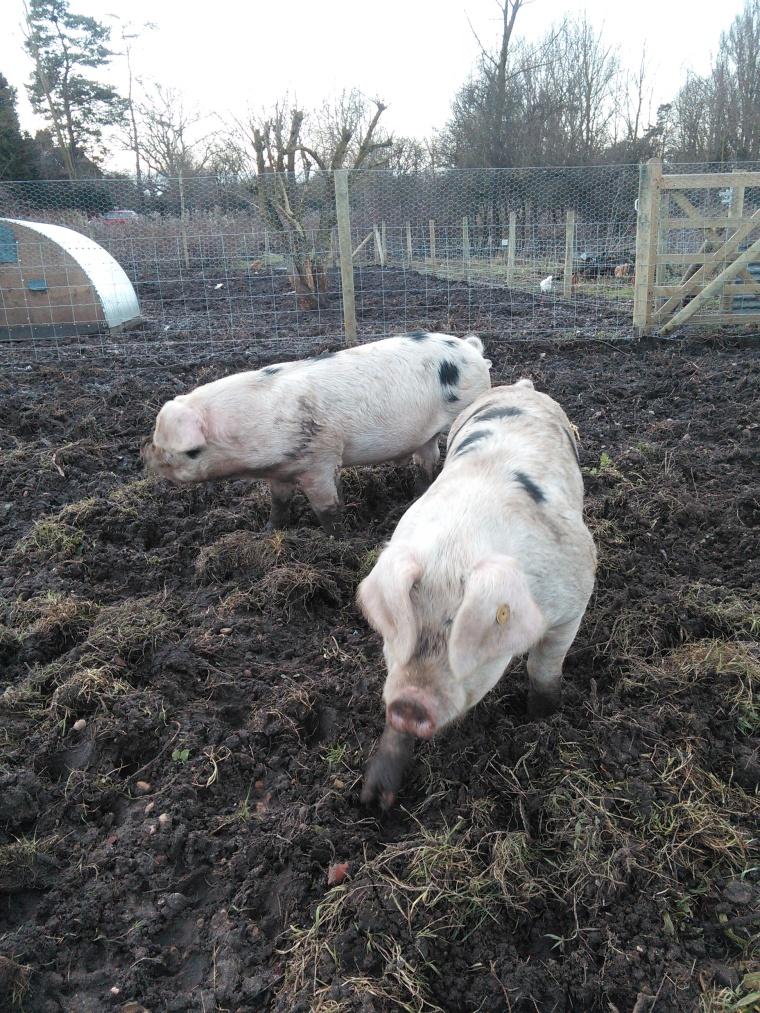 Quite simply, pigs rock