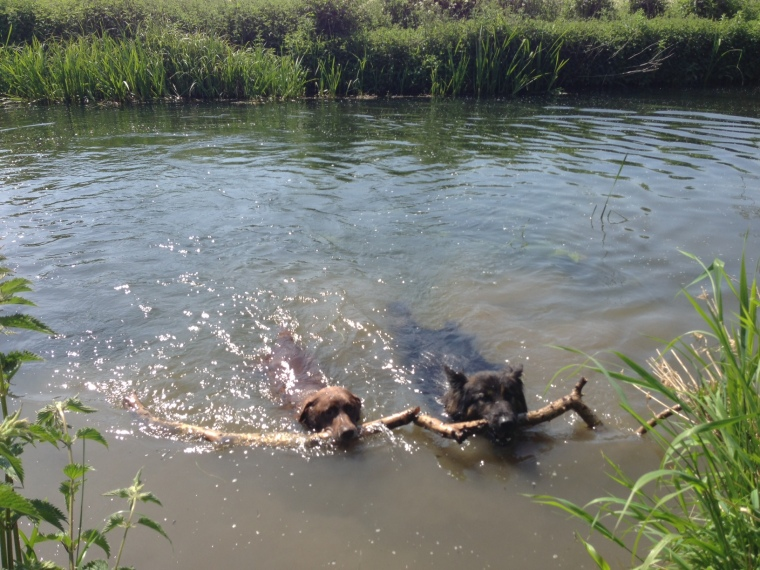 A jollier note to end on - we're looking forward to more dog-swimming this weekend (Megan, left; Darcy, right)