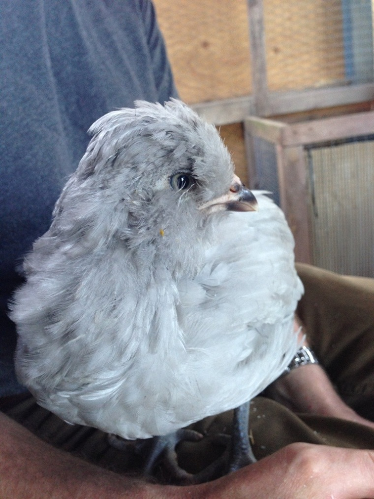 Our little lavender lad - buy four chickens, get one  free