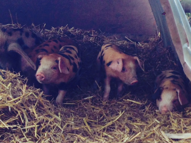 More small piglets
