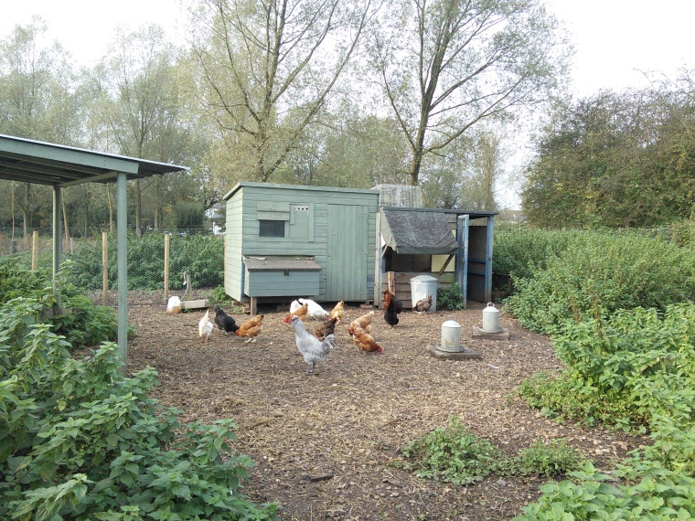 The large flock of hens with honourary cockerel Jeffrey