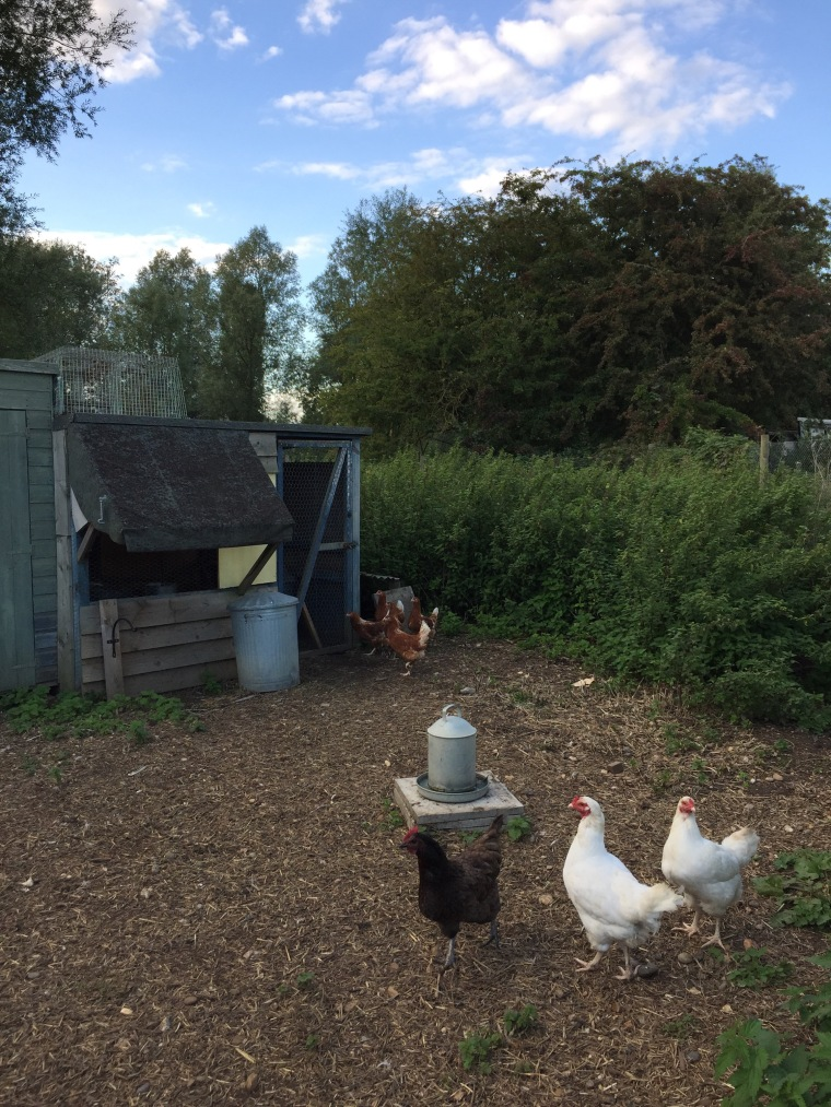 The new brown hens are proving rather shy